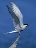 Perching Arctic Tern Spreading Wings in Manitoba