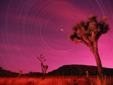 Joshua Tree Against Magenta Sky
