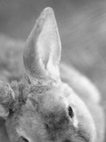 Rabbit's Ear