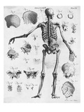 Anatomy:The Human Skeleton Frame