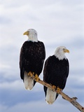 Bald Eagles on Tree Branch