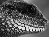 Head of Lizard