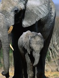 Elephant Mother and Calf