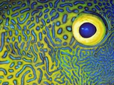 Blue and Yellow Triggerfish Eye