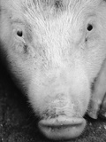Close Up of Pig's Face