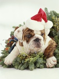 Bulldog Wearing Santa Claus Hat