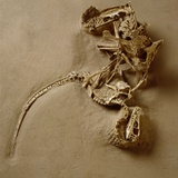 Fossil of Velociraptor Attack