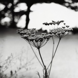 Queen Anne&#39;s Lace Flower