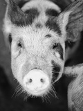 Head of Spotted Pig
