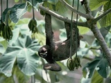 Female Brown-Throated Three-Toed Tree Sloth