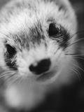 Ferret's Face