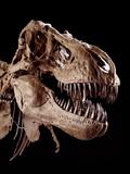 Skull of Tyrannosaurus