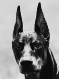 Head of Doberman Pinscher