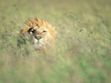 Male Lion Resting in Tall Grass