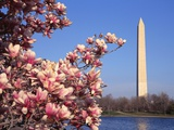 Blooming Magnolia near Washington Monument