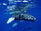 Infant Humpback Whale