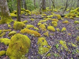 Spring Moss in Great Smoky Mountains