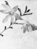 Gladiolus 7
