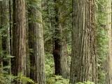 Redwood Forest in Redwood National Park