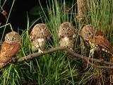 Eastern Screech Owl Fledglings