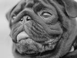 Pug Dog&#39;s Face