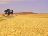 Oak Tree Amidst Wheat Fields