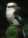 Laughing Kookaburra Perched on Log
