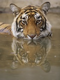 Young Tiger in Water