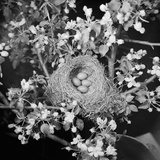 View of Robins Nest with Four Eggs