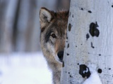 Gray Wolf Behind Aspen