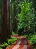 Road Through Redwood Forest