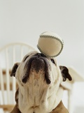 Bulldog Balancing Ball on Nose