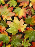 Wet Autumn Maple Leaves on Ground