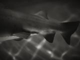 Shark Dorsal Fin