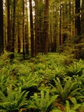 Ferns in Redwood Forest