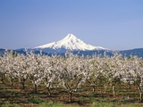 Apple Blossoms Against Mt Hood