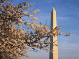 Cherry Tree near Washington Monument