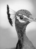 Peacock's Head