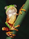 Barred Leaf Frog on Plant Stem