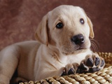 Yellow Lab Puppy in Basket