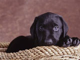 Black Lab Puppy in Basket