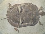 Eocene Echmatemys Fossil Turtle