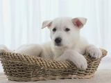 German Shepherd Pup Resting in a Wicker Basket
