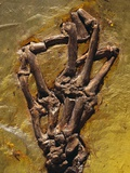Monkey Hand Fossil