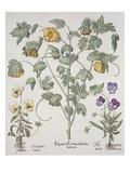 Papaver Corniculatum