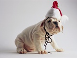 Bulldog Puppy Wearing Santa Hat