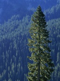 Douglas Fir in Mount Rainier National Park