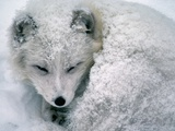Arctic Fox Sleeping in Snow