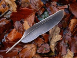 Wood Pigeon Feather Amongst Fallen Leaves