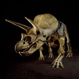 Triceratops Skeleton